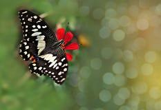 Le foyer brouillé et mou de doux abstrait le papillon suçaient le bonbon sur la fleur avec le bokeh, rayonnent léger, et la lenti Photos stock