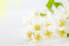 Le foyer mou sur le jasmin blanc fleurit comme la carte de voeux Photos libres de droits