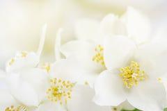 Le foyer mou sur le jasmin blanc fleurit comme la carte de voeux Images stock