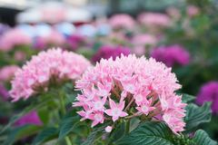 Le foyer sélectif Ixora est un genre des usines fleurissantes dans le jardin Image stock