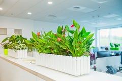 Le foyer sélectif sur la calla fleurit dans le pot avec le fond brouillé de l'intérieur léger du bureau ouvert d'espace de travai Photo stock