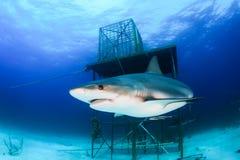 le för haj Arkivbilder