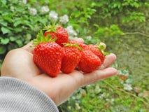 Le fragole fruttifica in mano dell'uomo con fondo verde Fotografie Stock Libere da Diritti