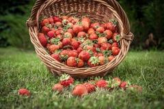 Le fragole mature fresche potano in canestro di vimini sparso su erba come alimento e fondo dell'agricoltura fotografia stock
