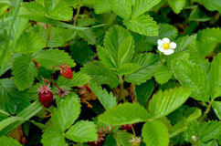Le fraisier commun Photographie stock libre de droits