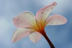 Le frangipani Image stock
