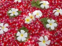 Le Frangipani avec s'est levé Photographie stock