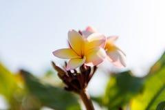 Le frangipani blanc et jaune de plumeria fleurit avec des feuilles Images stock