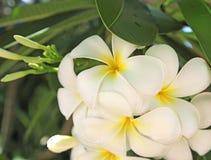 Le frangipani blanc et jaune de plumeria fleurit sur l'arbre Photographie stock libre de droits