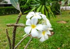 Le frangipani blanc et jaune ou, plumeria fleurit Photo stock