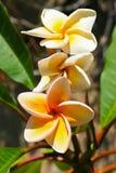 Le frangipani blanc et rose fleurit, des ischions, Italie Images stock