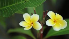Le Frangipani de Plumeria fleurit la cuisson à travers la définition élevée banque de vidéos