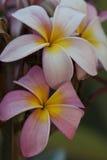 Le Frangipani fleurit le rose et le blanc Photos stock