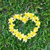 Le frangipani jaune a arrangé dans une forme de coeur le jour d'herbe verte de l'amour pour l'été de nature Image libre de droits