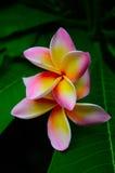 Le frangipani jaune tropical fleurit (le plumeria) Photos stock