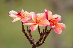 Le Frangipani, Plumeria, arbre de temple, arbre de cimetière est nom commun Images libres de droits