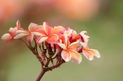 Le Frangipani, Plumeria, arbre de temple, arbre de cimetière est nom commun Photographie stock