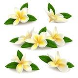 Le frangipani réaliste de plumeria fleurit avec des feuilles d'isolement sur le fond blanc Photos libres de droits