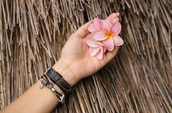 Le frangipani rose fleurit dans la main du ` s de femme Photographie stock libre de droits