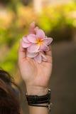 Le frangipani rose fleurit dans la main du ` s de femme Photo stock