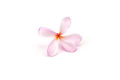 Le frangipani rose fleurit (espèces de Plumeria, Apocynaceae, arbre de pagoda Photo stock