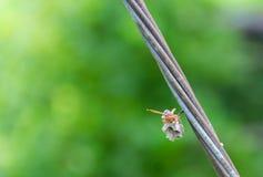 Le frelon construisent un nid photographie stock