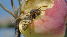 Le frelon mange la pomme rouge banque de vidéos