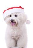 Le frise de Bichon utilise le chapeau de Santa Photos stock