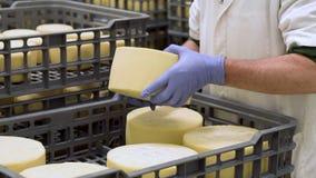 Le fromager beau v?rifie l'assaisonnement de fromages ? l'usine de laiterie dans la vid?o de 4k UHD banque de vidéos