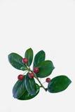 Le fruit à feuilles persistantes rouge Photographie stock libre de droits