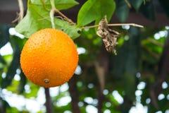 Le fruit étrange en Thaïlande Images libres de droits