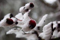 le fruit de branchement a glacé l'arbre Photo stock