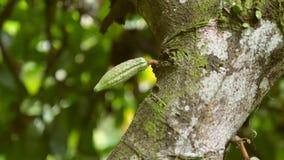 Le fruit de cacao se développent sur l'arbre dans la plantation organique de ferme 4K Bali, Indonésie banque de vidéos