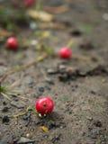 Le fruit de Calabur tombe au sol Photographie stock