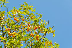 Le fruit de kaki est mûr Photographie stock