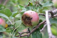 Le fruit de la pomme malade Photographie stock libre de droits