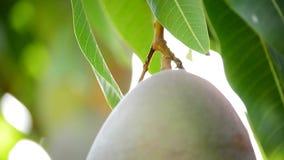 Le fruit de mangue accrochant à la branche de l'arbre, se ferment  clips vidéos