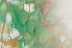 Le fruit de mangue sur l'arbre Photos libres de droits