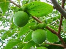Le fruit de maturation sur une branche d'arbre, kaki Photographie stock libre de droits