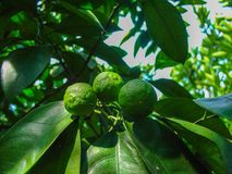 Le fruit de maturation sur une branche d'arbre, mandarine Photo libre de droits