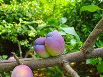 Le fruit de maturation sur une branche d'arbre, prune Photos libres de droits