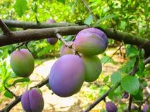 Le fruit de maturation sur une branche d'arbre, prune Photographie stock libre de droits