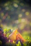 Le fruit de verger d'automne cultive le coucher du soleil d'herbe Image stock