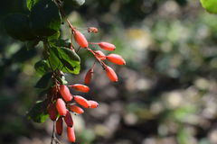 Le fruit du berbéris Photo libre de droits