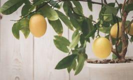 le fruit du citron sur la branche Photos stock