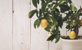 le fruit du citron sur la branche Images stock