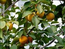 Le fruit du kaki Photo libre de droits