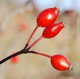 le fruit rosa de crabot de canina s'est levé Photos libres de droits