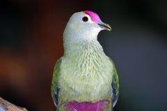 le fruit Rose-couronné a plongé ou rose-a couvert la colombe de fruit avec une tête supérieure violet-rose Photos libres de droits