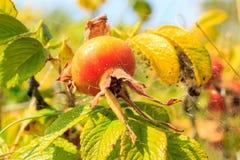Le fruit sauvage s'est levé dans l'arrangement naturel extérieur Images stock